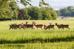 Herd of deer in park. Herd of deer in Phoenix Park, Dublin on a summer day stock photos