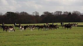A herd of deer in the Phoenix Park in Dublin, Ireland stock video