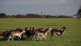 A herd of deer in the Phoenix Park in Dublin, Ireland stock footage