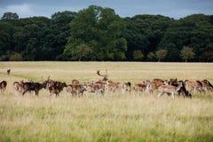 A herd of deer in the Phoenix Park in Dublin, Ireland Stock Photos