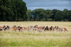 A herd of deer in the Phoenix Park in Dublin, Ireland Royalty Free Stock Photography