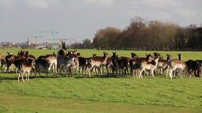 A herd of deer in the Phoenix Park in Dublin, Ireland stock video footage