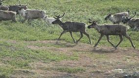 Herd of deer stock photos