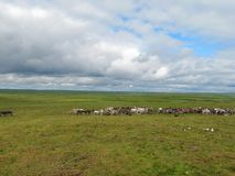 Herd of deer. Photo of summer tundra. On the green grass graze and rest deer royalty free stock photos