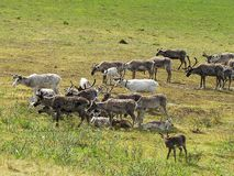 Herd of deer. Photo of summer tundra. On the green grass graze and rest deer royalty free stock image