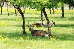 Herd of Deer Relaxing in Shade of Trees Stock Photo