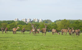 A herd of deer, Richmond Park, London. Royalty Free Stock Image