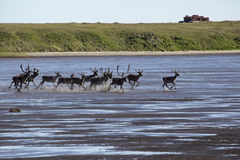 A herd of deer running along the shallows in the river. River Anabar. Yakutia. Russia Royalty Free Stock Images