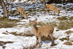 Herd of deer at Salburua park (Spain) Royalty Free Stock Photos