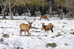Herd of deer at Salburua park, Vitoria (Spain) Stock Photos
