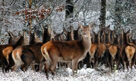 Herd of deer sheltering Stock Image