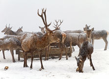 Herd of deer Royalty Free Stock Photos
