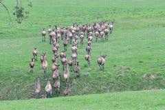 Herd of deer stag with growing antler grazing the grass close-up. Deerskin walking stock photos