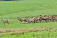Herd of deer stag with growing antler grazing the grass close-up. Deerskin walking stock photography