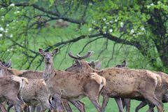 Herd of deer stag with growing antler grazing the grass close-up. Deerskin walking royalty free stock photography