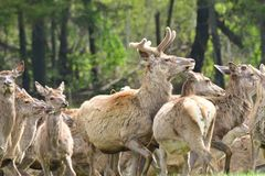 Herd of deer stag with growing antler grazing the grass close-up. Deerskin walking royalty free stock images