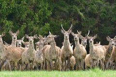 Herd of deer stag with growing antler grazing the grass close-up. Deerskin walking royalty free stock image