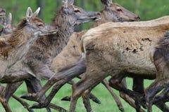 Herd of deer stag with growing antler grazing the grass close-up. Deerskin walking stock images