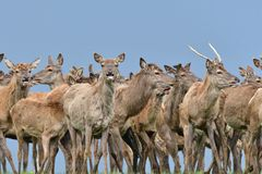 Herd of deer stag with growing antler grazing the grass close-up royalty free stock photos