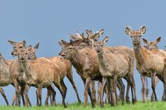 Herd of deer stag with growing antler grazing the grass close-up stock photography