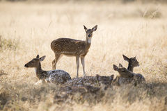 Herd of deer Royalty Free Stock Image