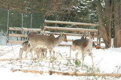 Herd of deer together in winter Stock Photos