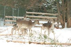 Herd of deer together in winter Stock Photos
