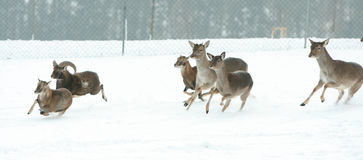 Herd of deer together in winter Royalty Free Stock Photography