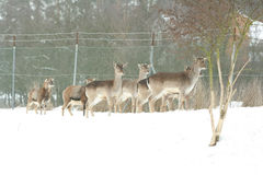 Herd of deer together in winter Royalty Free Stock Images