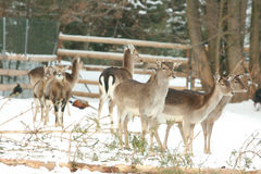 Herd of deer together in winter Royalty Free Stock Image