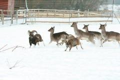 Herd of deer together in winter Stock Image