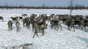 Herd of deer in the tundra. The herd of reindeers comes to a pasture in the tundra