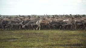 A herd of deer in the tundra. The Yamal Peninsula. stock footage