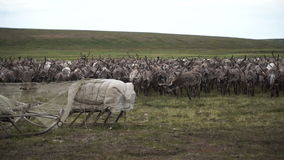 A herd of deer in the tundra. The Yamal Peninsula. A herd of deer in the tundra. Place on a stand. The Yamal Peninsula. Summer in tundra stock footage