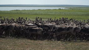 A herd of deer in the tundra. The Yamal Peninsula. A herd of deer in the tundra. Place on a stand. The Yamal Peninsula. Summer in tundra stock video footage