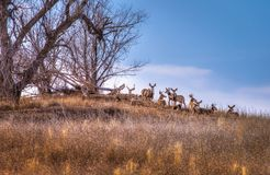 Herd of Deer Under a Tree Royalty Free Stock Photos