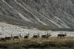 A herd of deer walking on the lake. Ridge Chersky. Yakutia. Russia royalty free stock image