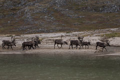 A herd of deer walking on the lake. Ridge Chersky. Yakutia. Russia Stock Images