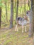 Herd of deer in the wild Royalty Free Stock Image