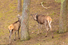 Herd of deer in the wild Stock Images