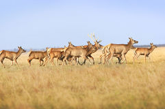 Herd deers Royalty Free Stock Photo