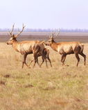 Herd of deers Royalty Free Stock Photos