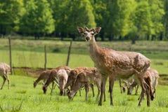 Herd of deers Royalty Free Stock Photo