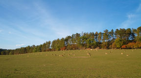 The herd of deers. On the meadow Stock Images
