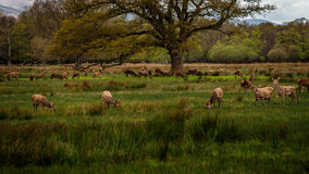 Herd of deer. Deer herd in Killarney National Park,Kerry,Ireland Royalty Free Stock Photos