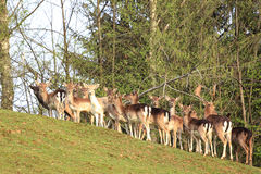 Herd of deers Stock Photos