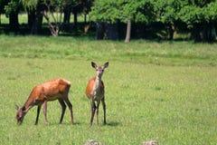 Herd of deers Stock Images
