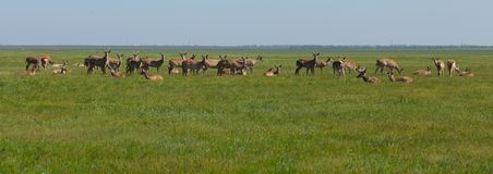 Herd of deers peacefully resting in the steppe. Shot made in res. Ervation national park Askania Nova, Ukraine Stock Images