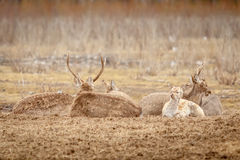 Herd of deers is resting on the glade Royalty Free Stock Photos