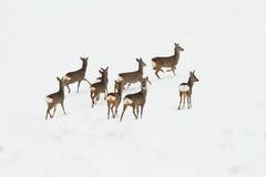 Herd of deers on snow Royalty Free Stock Image
